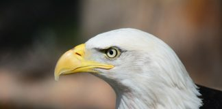 American Bald Eagle - Photo: Steppinstars, Pixabay.com, License: CC0