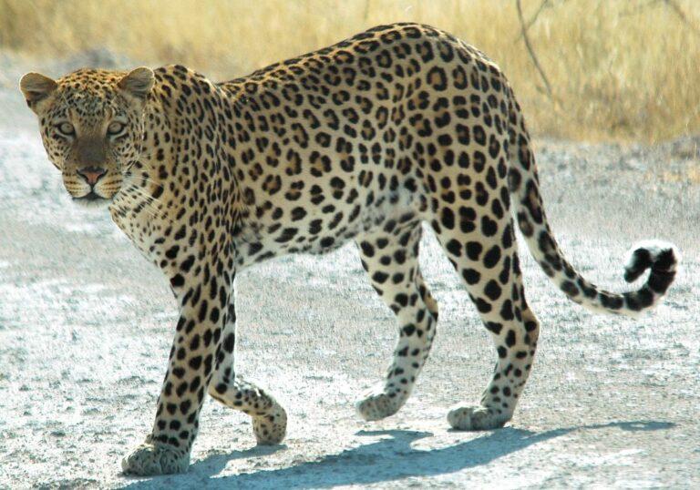 Leoparden ändrar inte sina fläckar: Osama bin Ladens död & USA: s utrikespolitik under Biden.
